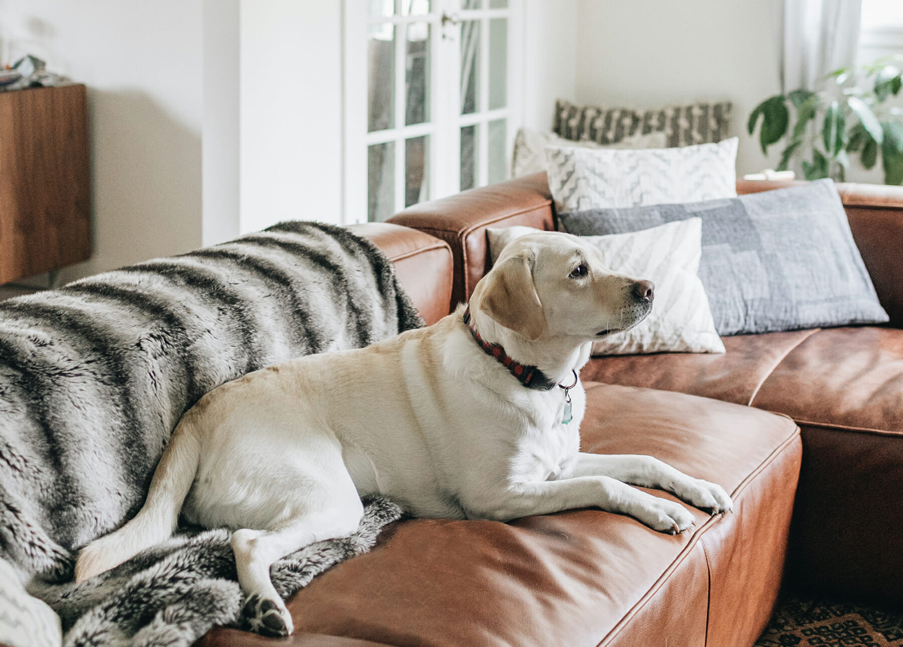 Leather Couch with Dogs | Articulate