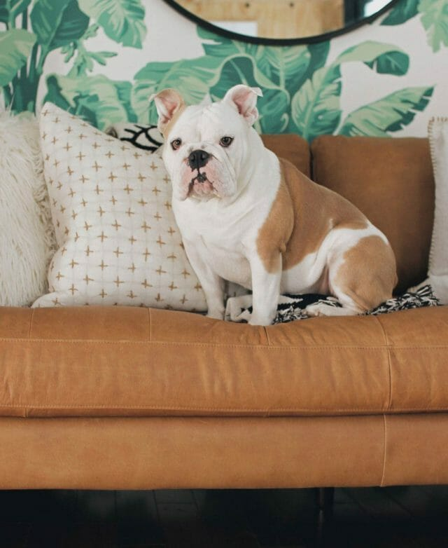 Rachel Metz's bulldog sits on the Article Sven sofa.