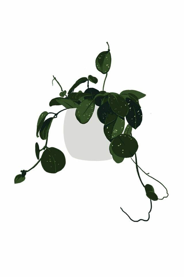 Hoya plant illustration