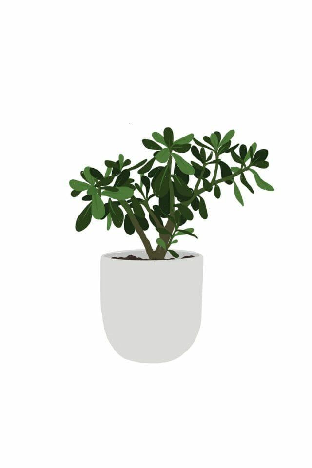 Jade plant illustration.