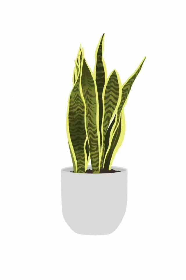 Illustration of snake plant