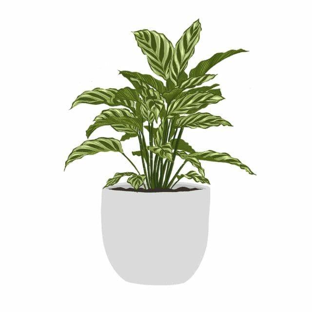 An illustration of a calathea plant.