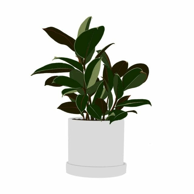 An illustration of a rubber plant.