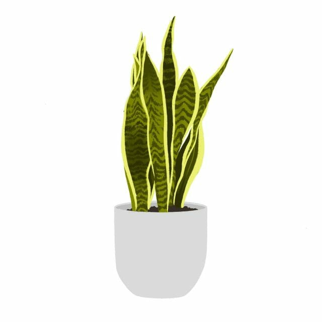 An illustration of a snake plant.