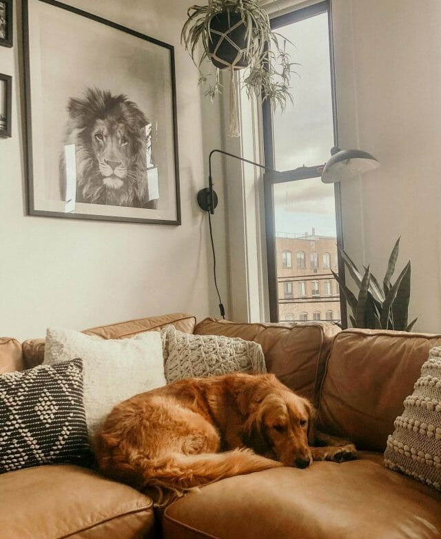 A golden retriever lays on a sofa with the Article Leap Sconce.